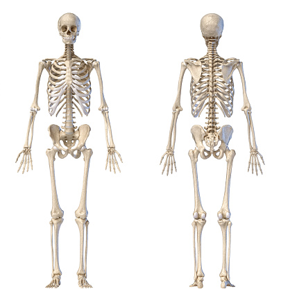 Human male skeleton full figure. Front and back views. 1174641398