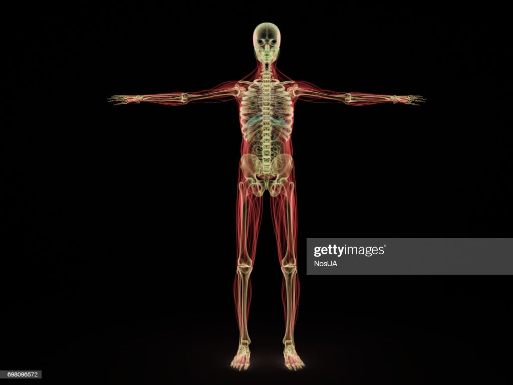 Human Muscle Anatomy 3d Render On White Front Stock Photo Getty Images