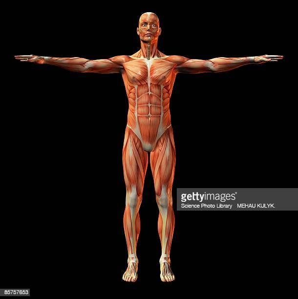 Human Muscle Stock Photos And Pictures Getty Images