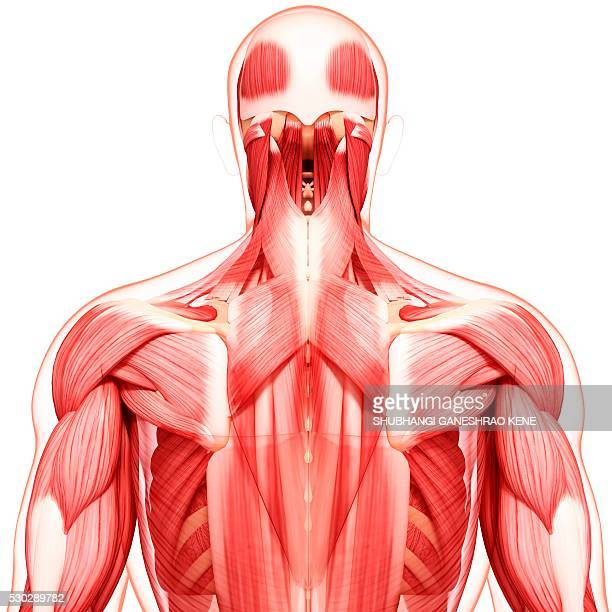 human musculature, computer artwork. - tendon stock photos and pictures