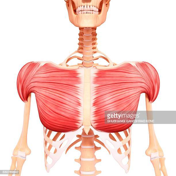 Parts Of Sternum Stock Photos And Pictures Getty Images