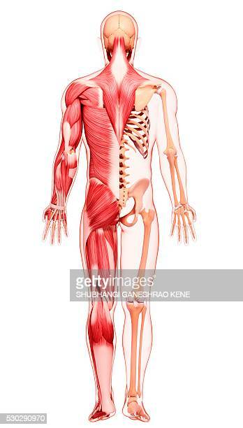 human musculature, computer artwork. - gastrocnemius stock pictures, royalty-free photos & images