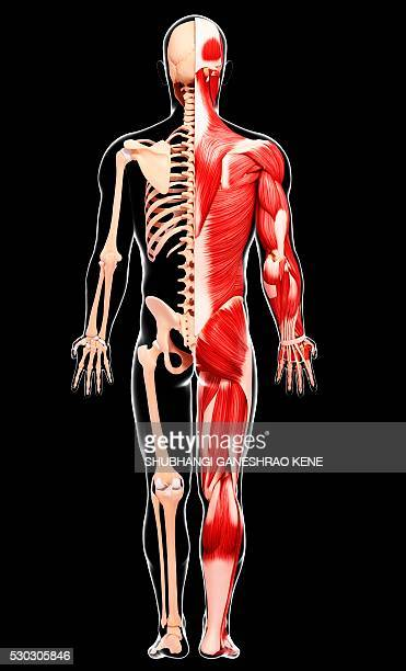 human musculature, computer artwork. - biomedical illustration stock photos and pictures
