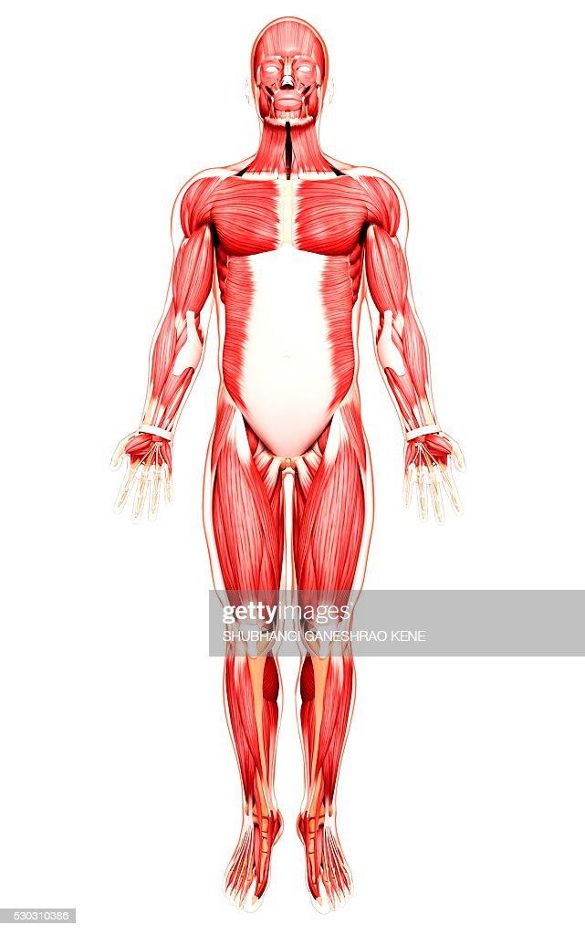 Human musculature, computer artwork. : Stock Photo