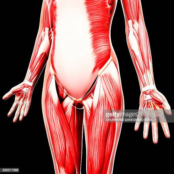 human musculature, computer artwork. - vastus lateralis stock pictures, royalty-free photos & images
