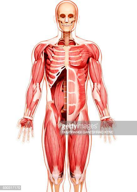 human musculature, computer artwork. - biomedical illustration stock pictures, royalty-free photos & images