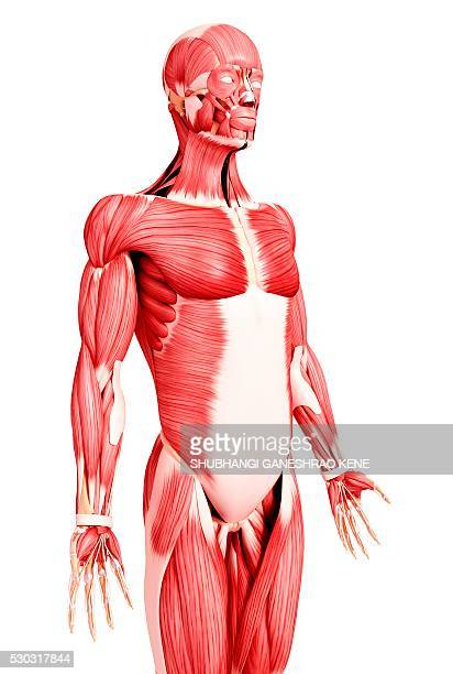 Oblique Muscle Stock Photos And Pictures Getty Images