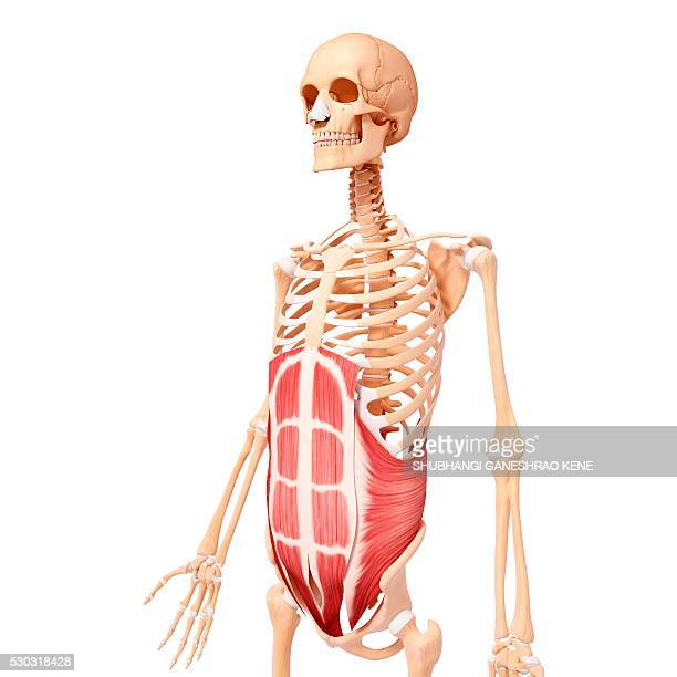 Rectus Abdominis Stock Photos And Pictures Getty Images