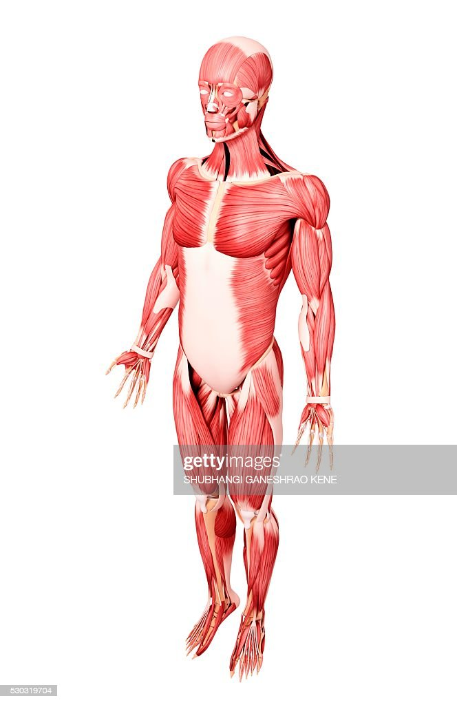 Human musculature, computer artwork. : Stock Photo