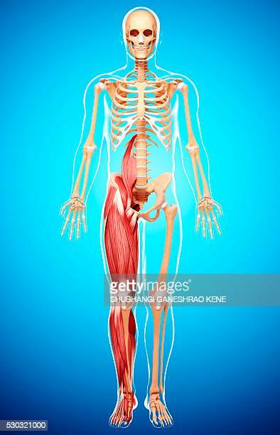 human musculature, computer artwork. - fibularis longus muscle stock pictures, royalty-free photos & images