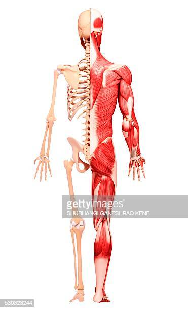 Human musculature, computer artwork.