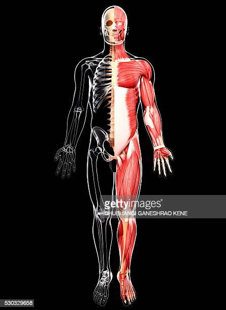 human musculature, computer artwork. - tibialis anterior muscle stock pictures, royalty-free photos & images