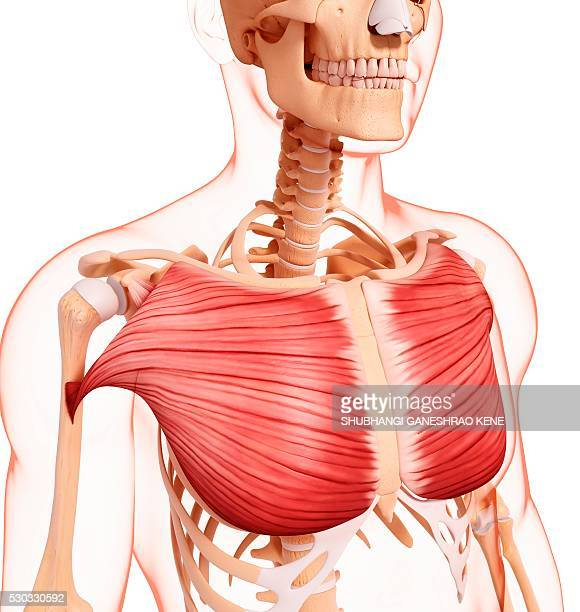 human musculature, computer artwork. - clavicle stock photos and pictures