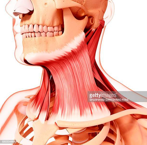 Human neck musculature, computer artwork.