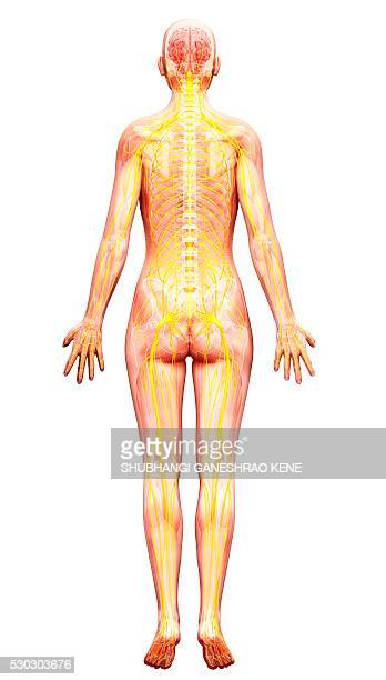 human nervous system, computer artwork. - cerebrum stock pictures, royalty-free photos & images