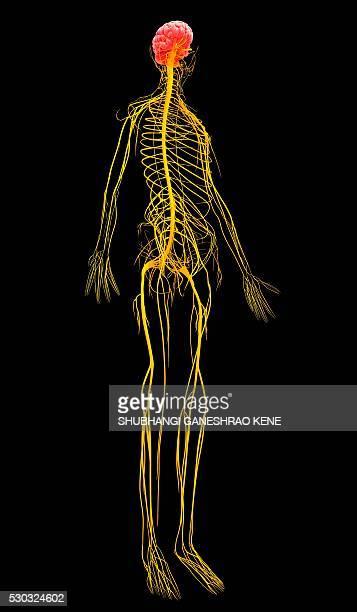 Human nervous system, computer artwork.
