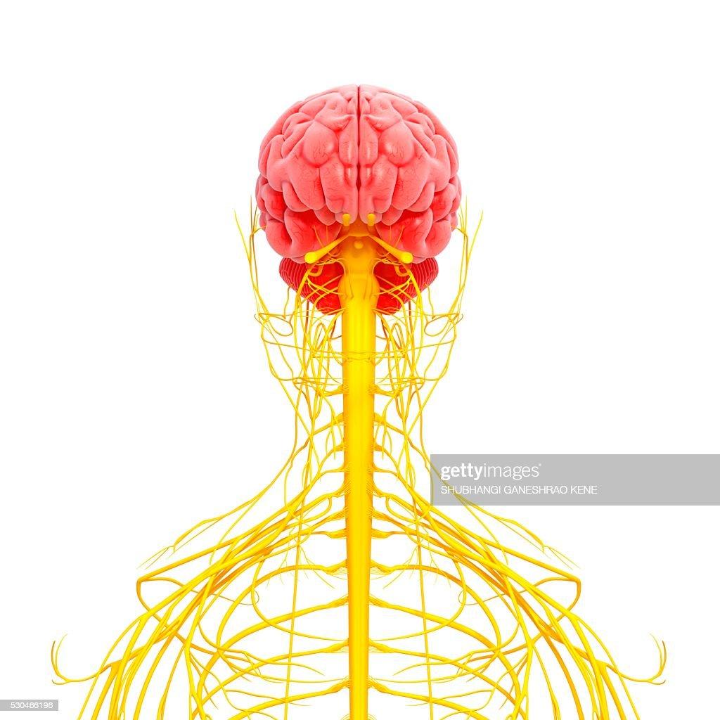 Human nervous system, computer artwork. : Stock Photo