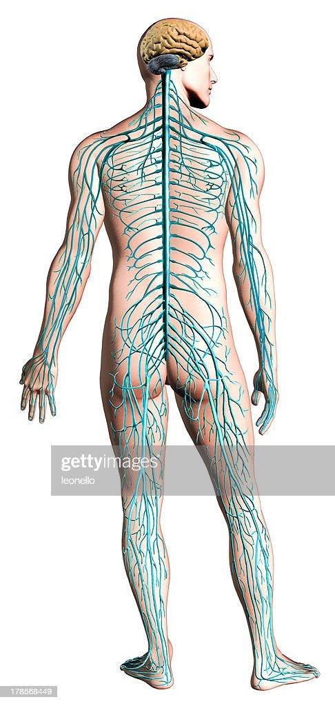 Menschliches Nervensystem Diagramm Anatomie Querschnitt Clippingpfad ...