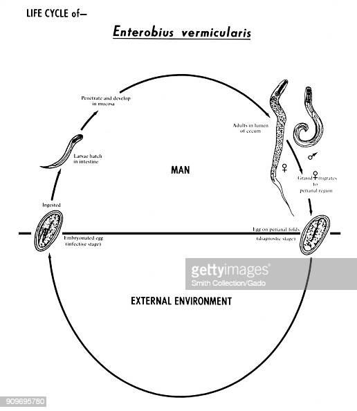 Human Pinworm Nematode Enterobius Vermicularis Various Stages In