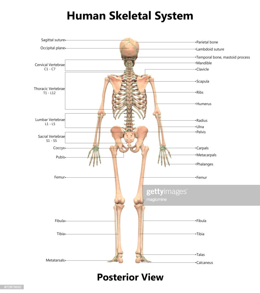 Human Skeletal System Anatomy With Detailed Labels Posterior View