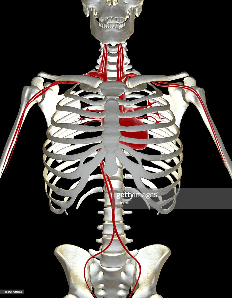 Human Skeleton And Heart System Stock Photo Getty Images