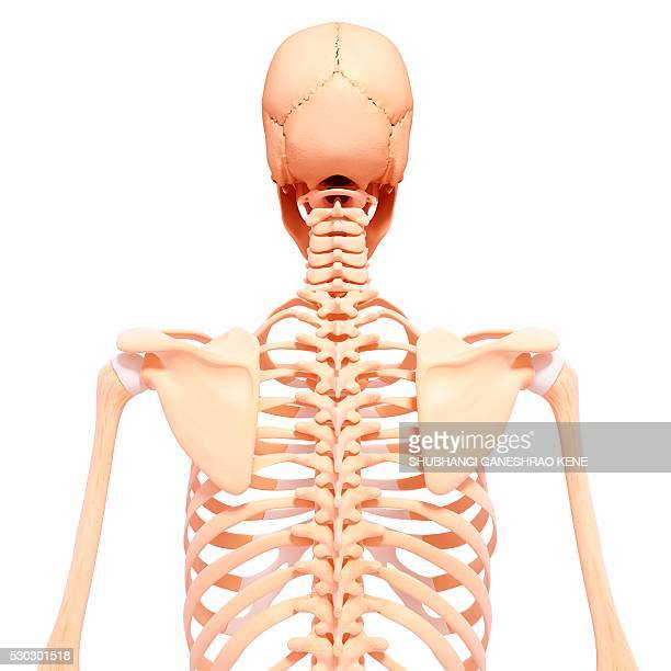 Rib Cage Stock Photos And Pictures