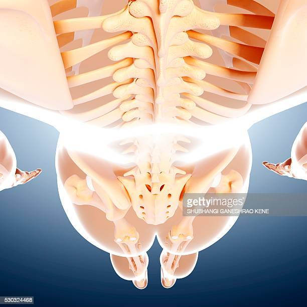 Lower Back Skeleton Stock Photos And Pictures Getty Images