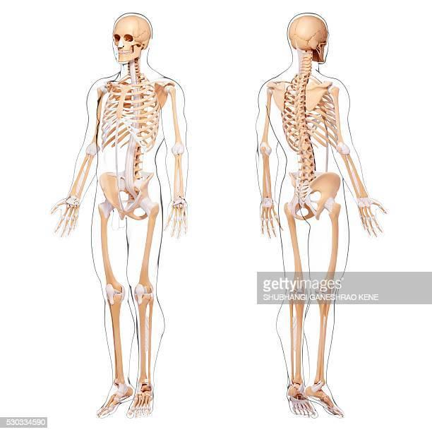 Human skeleton, computer artwork.