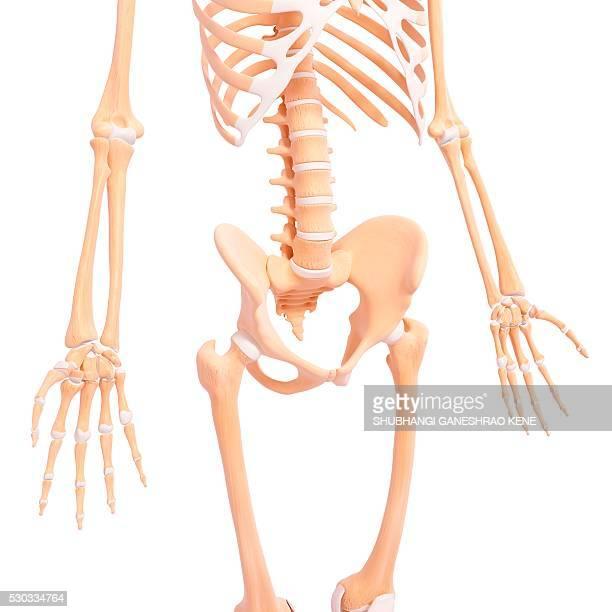 human skeleton, computer artwork. - femur fotografías e imágenes de stock