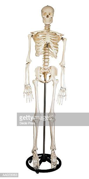human skeleton - human skeleton stock photos and pictures