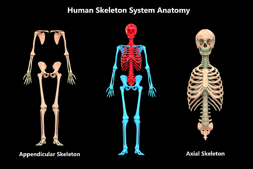Human Skeleton System Appendicular and Axial Skeleton Anatomy 1071637206