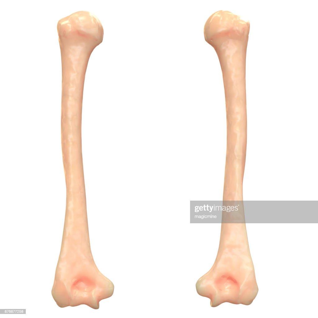 Skelett System Humerus Knochen Anatomie Stock-Foto   Getty Images
