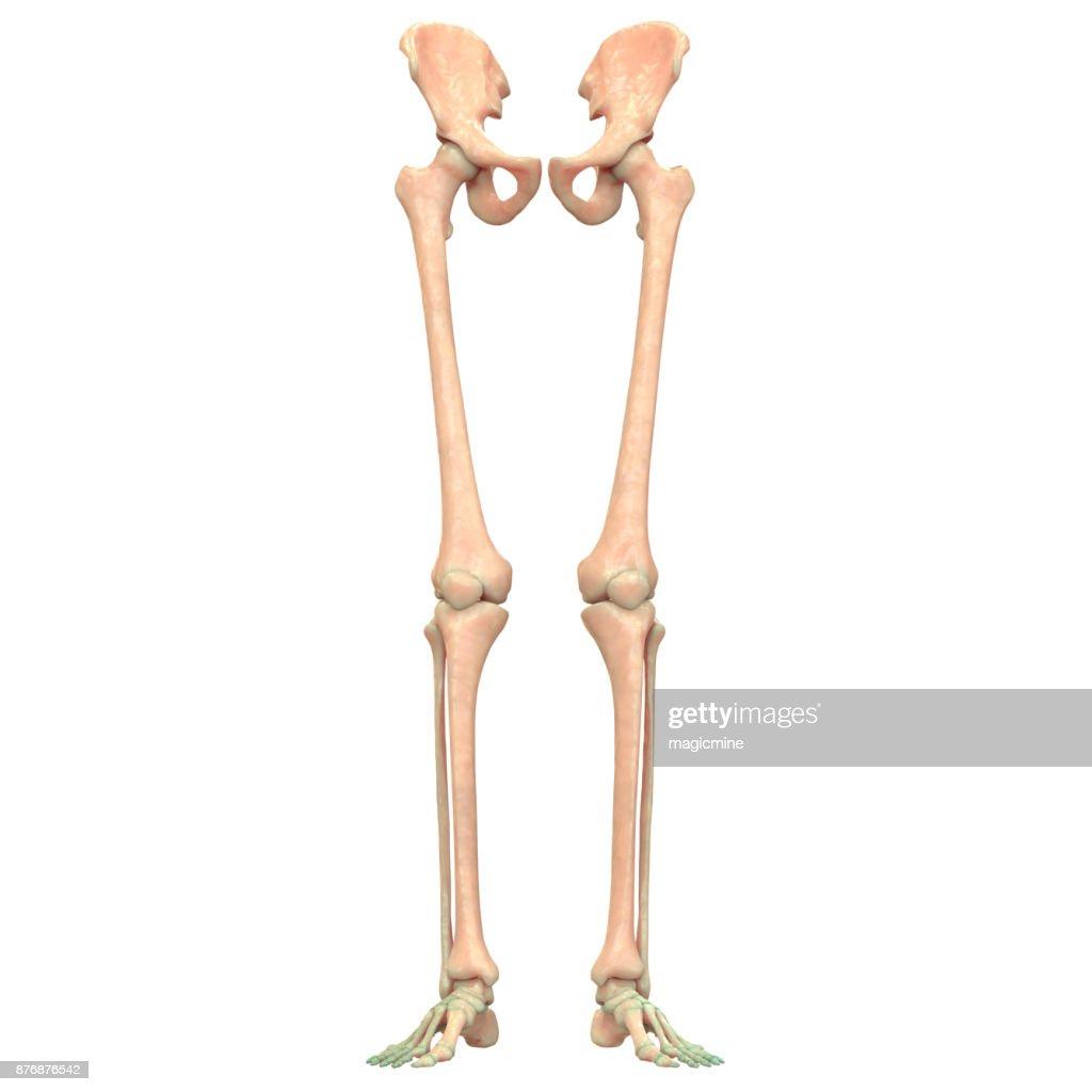 Skelett System Untere Gliedmaßen Anatomie Stock-Foto | Getty Images