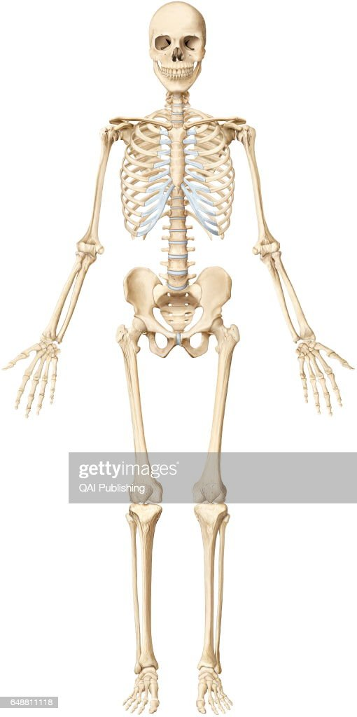 human skeleton the human skeleton is made up of 206 articulated bones picture id648811118?s=612x612 human skeleton stock photos and pictures getty images