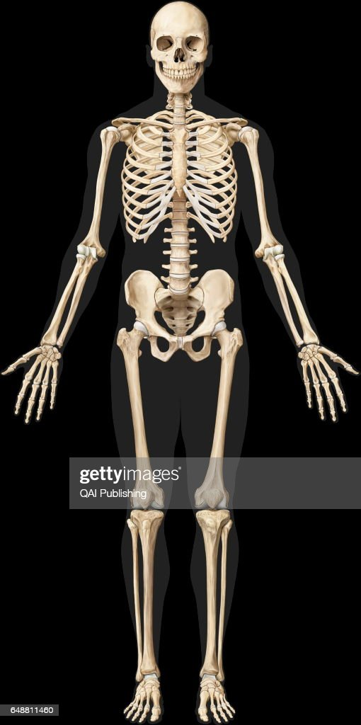 Human Skeleton The Human Skeleton Is Made Up Of 206 Articulated