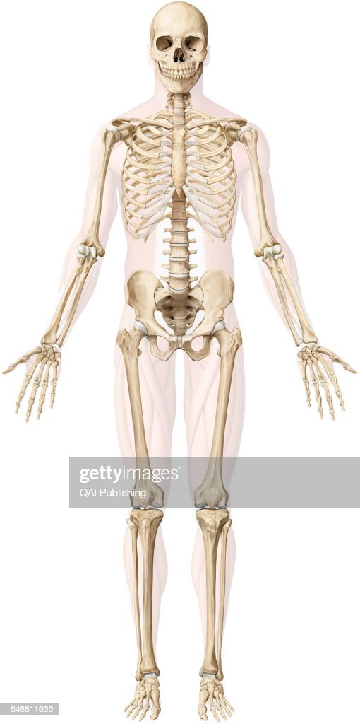 human skeleton the human skeleton is made up of 206 articulated bones picture id648811636?s=612x612 human skeleton stock photos and pictures getty images