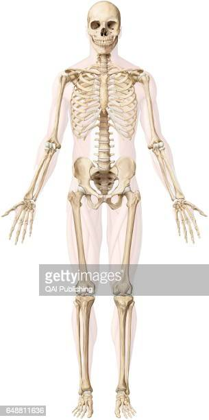 Human Skeleton Stock Photos And Pictures Getty Images