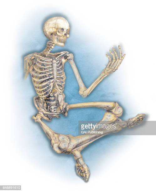 Human skeleton The human skeleton is made up of 206 articulated bones of varying sizes and shapes
