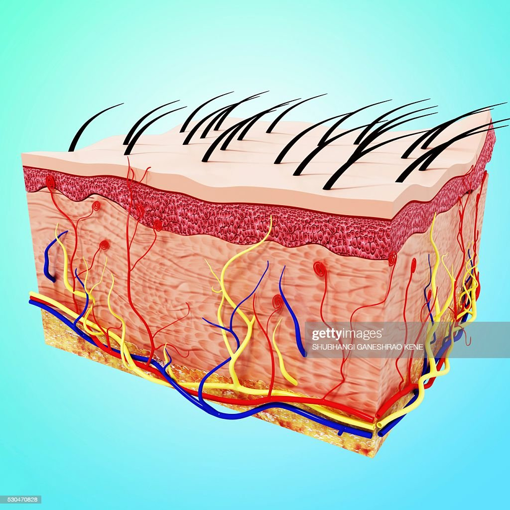 Human Skin Anatomy Computer Artwork Stock Photo Getty Images