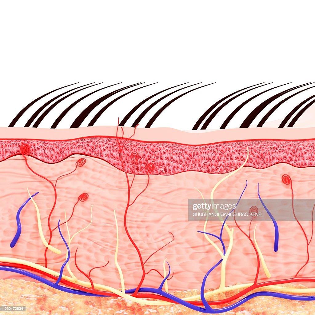 Atemberaubend Human Skin Anatomy Fotos - Anatomie Von Menschlichen ...
