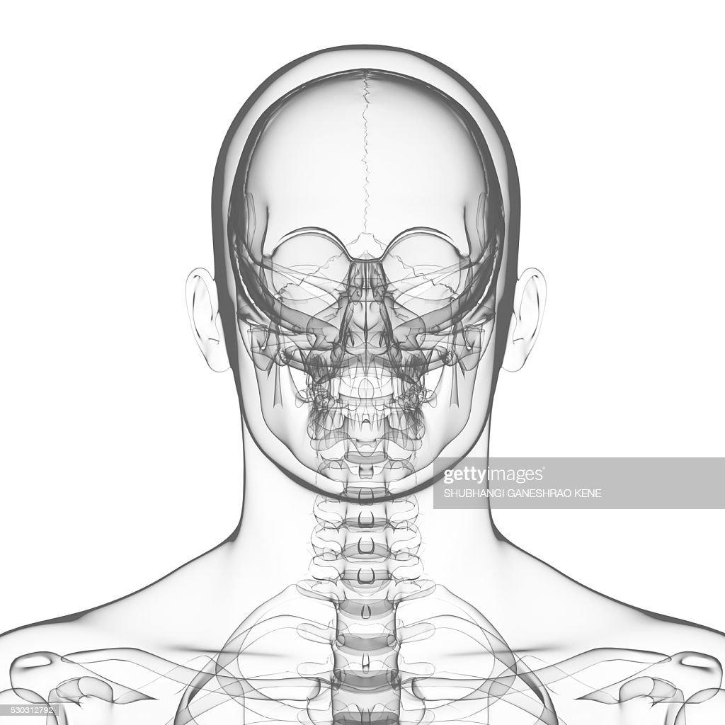 Human skull, computer artwork. : Stock Photo