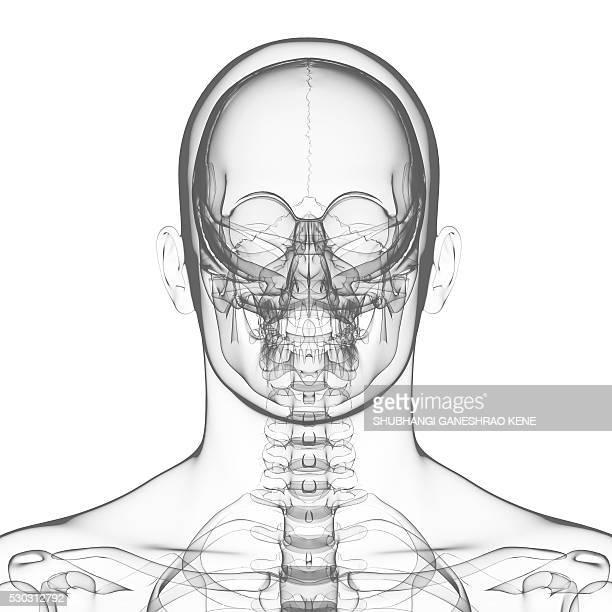 Human skull, computer artwork.