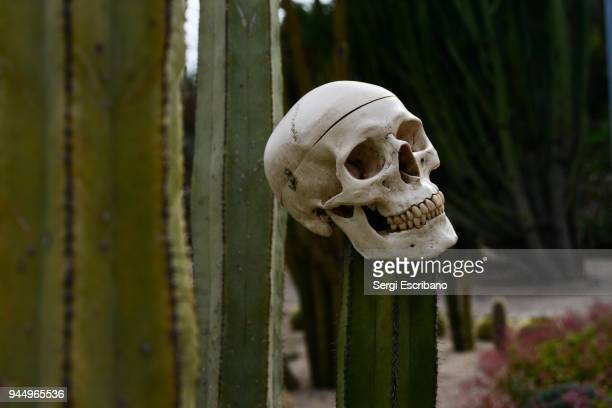 human skull in a mexican cactus - human skull stock pictures, royalty-free photos & images