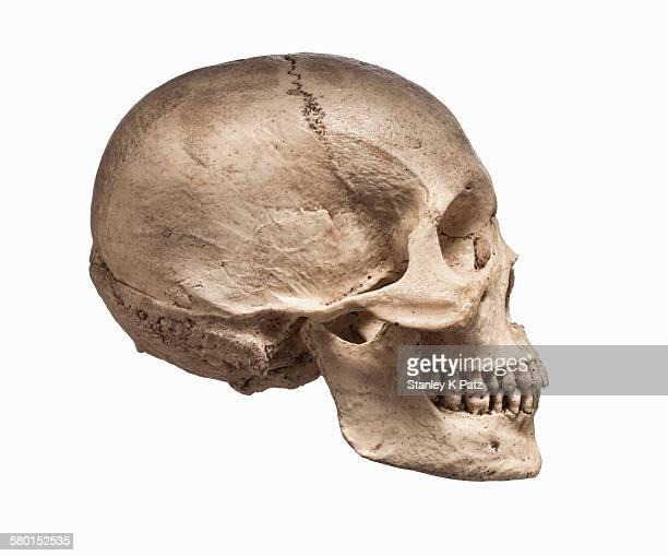 Human skull in profile