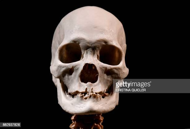 A human skull is on display at the 'Casino de la Exposicion' cultural center in Seville on November 30 on the eve of the opening of the exhibition...