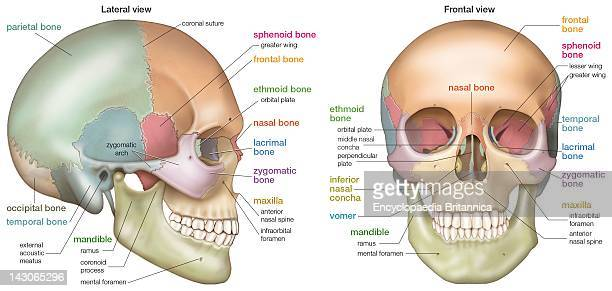 Frontal Bone Stock Photos And Pictures Getty Images
