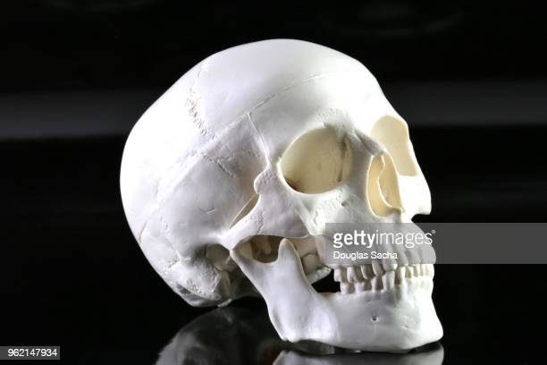 human skull model on a black background - human skull stock pictures, royalty-free photos & images