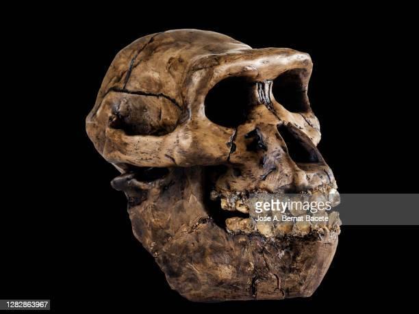 human skull of an australopithecus on a black background. - australopithecus fotografías e imágenes de stock