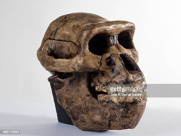 human skull of an australopithecus - australopithecus stock pictures, royalty-free photos & images