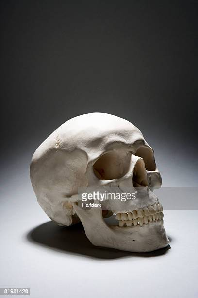 a human skull - human skull stock pictures, royalty-free photos & images